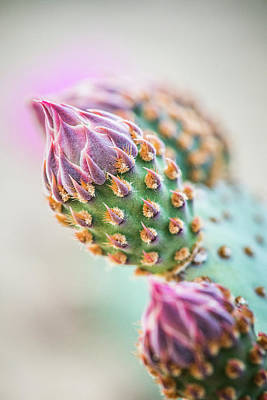 Photograph - Beavertail Cactus Buds by Alexander Kunz