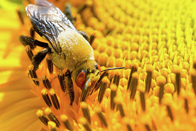 Photograph - Bee And Sunflower by SR Green