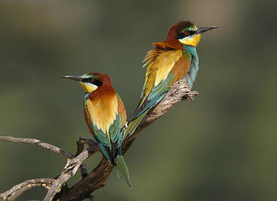 Bee-eater Art Print by Perry Van Munster