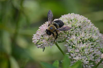 Photograph - Bee On Sedum by Maria Urso