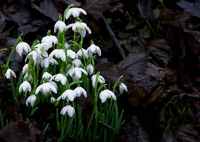 Snow Drops Photograph - Beginning by Svetlana Sewell