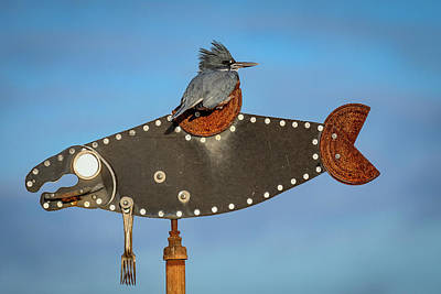 Photograph - Belted Kingfisher by Michael McAuliffe
