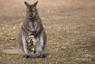 Marsupial Photograph - Bennett's Wallaby by Twenty Two North Photography
