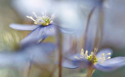 Anemone Photograph - Between The Stalks by Heidi Westum