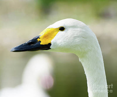 Photograph - Bewik's Swan by Colin Rayner