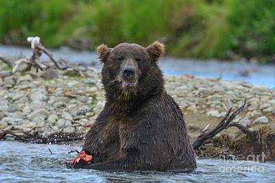 Photograph - Big Brown Bear Eating Salmon In Stream by Dan Friend