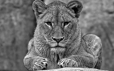 Big Cat Lion Collection Art Print