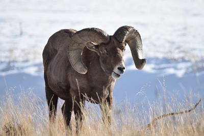 Photograph - Big Horn Sheep by Margarethe Binkley