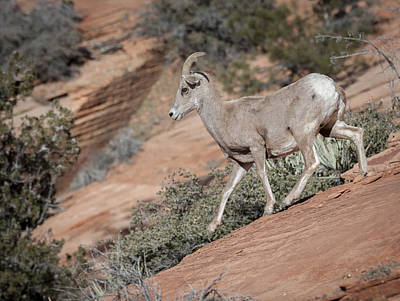 Photograph - Big Horn Sheep by Tyson and Kathy Smith