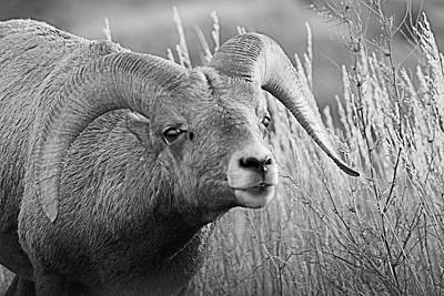 Photograph - Big Horn  by Tiffany Erdman