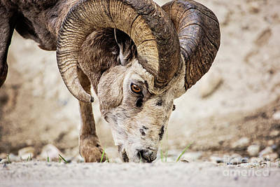 Big Horn Using A Mineral Lick Art Print