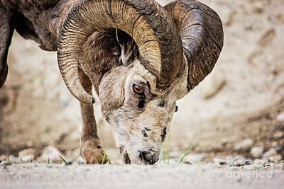 Photograph - Big Horn Using A Mineral Lick by Scott Pellegrin
