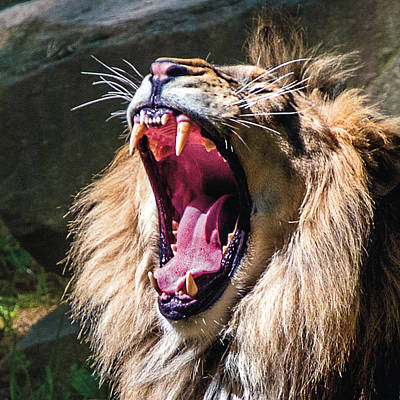 Photograph - Big Yawn by William Bitman