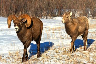 Photograph - Bighorn Couple by Adam Jewell