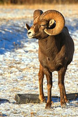 Photograph - Bighorn In The Sun by Adam Jewell