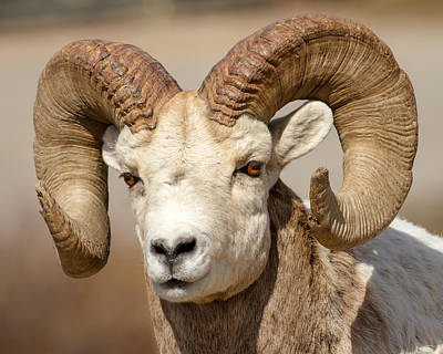 Photograph - Bighorn by Jack Bell
