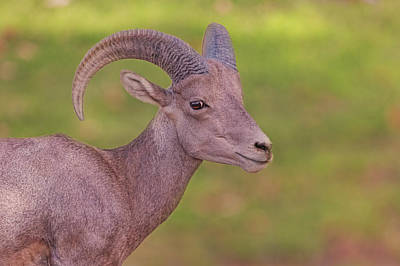 Photograph - Bighorn Sheep by Brian Cross