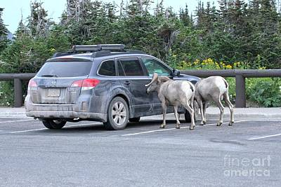 Photograph - Bighorn Sheep Ram A Subaru by Adam Jewell
