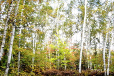 Algonquin Park Northern Ontario Canada Photograph - Birch Forest by Oleksiy Maksymenko