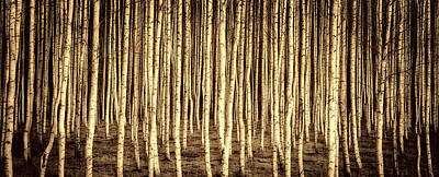 Photograph - Birch Forest by Pixabay