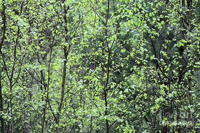 Photograph - Birch Leaves by Dariusz Gudowicz