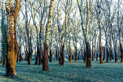 Photograph - Birch Tree Woodland by Lana Enderle