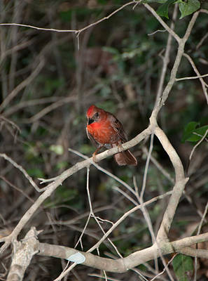 Digital Art - Hepatic Tanager At The Coba Ruins by Carol Ailles