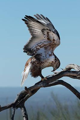 Ferruginous Hawk Photograph - Birds Of Prey - Ferruginous Hawk by Jon Berghoff