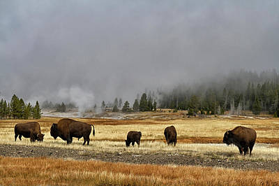 Photograph - Bison At Old Faithful by Shirley Mitchell