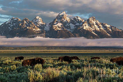 Bison Below Teton Mountains Art Print