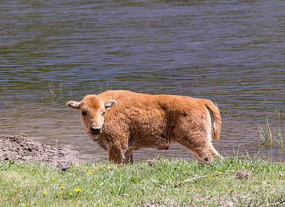 Photograph - Bison Calf by Michael Chatt