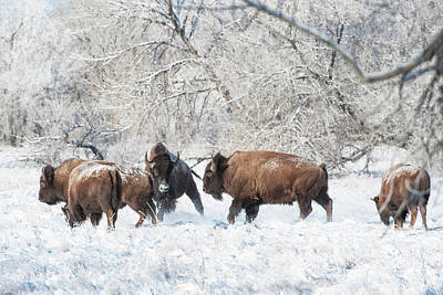 Photograph - Bisons  by Catherine Lau