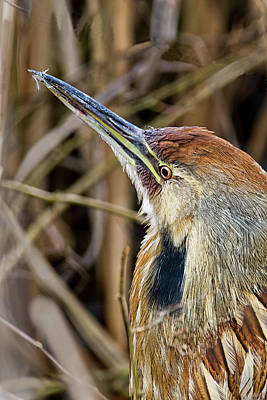 Photograph - Bittern Portrait by Craig Strand