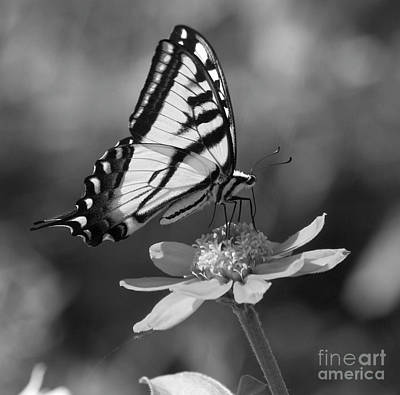 Photograph - Black And White Butterfly On Zinnia by Jim And Emily Bush