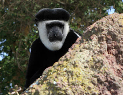 Photograph - Black And White Colobus Monkey by Aidan Moran