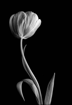 Photograph - Black And White Tulip by David and Carol Kelly