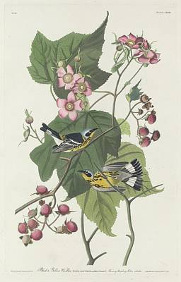 Audubon Drawing - Black And Yellow Warbler by Dreyer Wildlife Print Collections