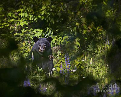 Photograph - Black Bear by Alana Ranney