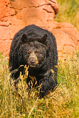 Olympic Sports - Black Bear on the Hunt by Lucky Chen