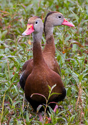 Photograph - Black-bellied Whistling Ducks by Phil Stone