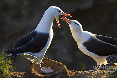 Black-browed Albatross Couple Art Print