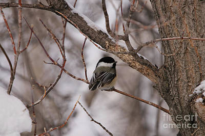 Photograph - Black Capped Chickadee by Alyce Taylor
