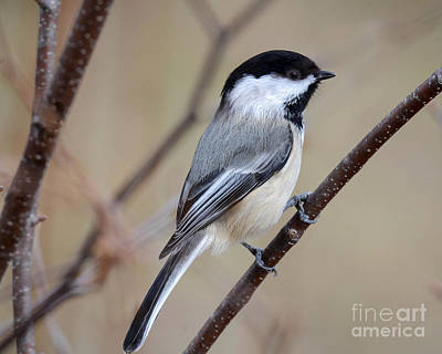 Photograph - Black Capped Chickadee by Amy Porter