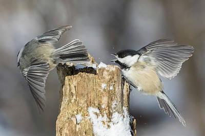 Art Print featuring the photograph Black-capped Chickadee In Winter by Mircea Costina Photography