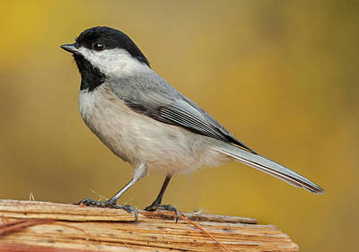 Photograph - Black-capped Chickadee by Jim Moore