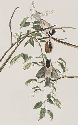 Titmouse Painting - Black Capped Titmouse by John James Audubon