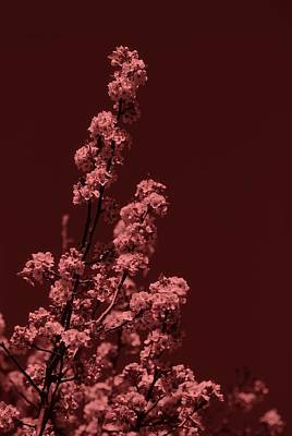 Photograph - Black Cherry Cherry Blossoms by Angie Tirado