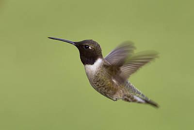 Black-chinned Hummingbird Art Print by Doug Herr
