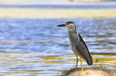 Photograph - Black-crowned Night Heron by Andrew Dinh