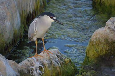 Photograph - Black Crowned Night Heron by Greg Graham